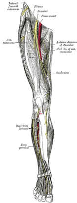 saphenous nerve pain - the student physical therapist, Muscles